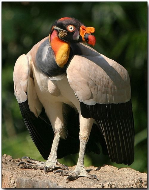 KING VULTURE ©Douglas Janson Location: Central and South America Status: Least Concern Fact: Helping the Living, by Eating the DeadLike other vultures, the king vulture is a scavenger. These large birds glide on air currents, conserving energy while searching the forests or savanna below for the corpses of dead animals. Because of their unappetizing eating habits, they fill an ecological niche, and may help to prevent the spread of disease by disposing of rotting remains. —- Fact ...