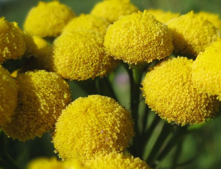 Tansy is an herbaceous perennial plant. Tansy plants are common in the United States, and while some people like to grow the plant, others would rather control its growth. This article will help.