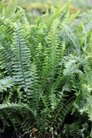 48 best images about in the garden on pinterest gardens - Nephrolepis exaltata ...
