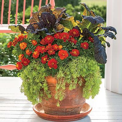 Stunning Marigold Fall Container | The sun's lower angle causes the ribs and veins of 'Red Gaint' mustard to glow white to chartreuse in contrast to its deep maroon foliage. 'Bonanza Harmony' Marigolds bring a burst of autumn orange and yellows to this fall container, while 'Angelina' sedums tie it all together. | SouthernLiving.com