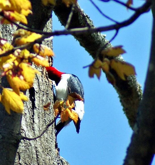 Redheaded Woodpecker Dad entering the nesting area inside tree, Wasaga Beach Ontario