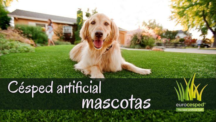 ¿Sabías que...? El mismo célebre entrenador canino César Millán aconseja la instalación de césped artificial en jardines para nuestras mascotas, así como en áreas de juego de perros y gatos.  Si tienes un perro o un gato, el césped artificial para mascotas SÍ es compatible, higiénico y fácil de limpiar.  #césped #artificial #mascotas #perros #gatos #paisajismo #instalación #jardín #terraza https://goo.gl/fKPvEZ