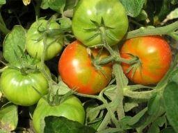 Народный прием, усиливающий рост и урожайность помидоров. - Садоводка