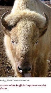 white buffalo | web-ready-07-white-buffalo-.jpg