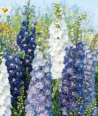 Delphinium, Fantasia Mixed Colors lifecycle: Perennial  Zone: 3-7  Sun: Full Sun  Height: 27  inches Spread: 18-24  inches Uses: Borders, Cut Flowers  Bloom Season: Spring