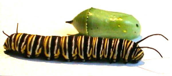 Live Monarch Online Butterfly Educational Experience. Learn about the life cyle of a Monarch.