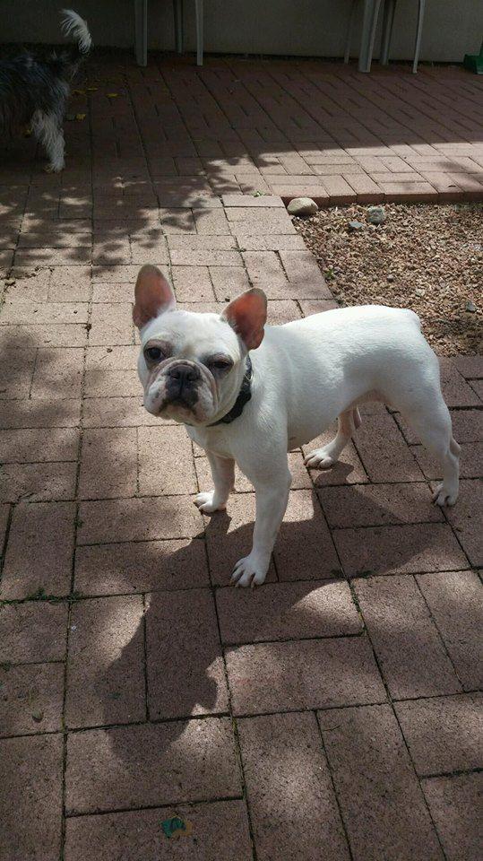 French Bulldog dog for Adoption in Phoenix , AZ. ADN