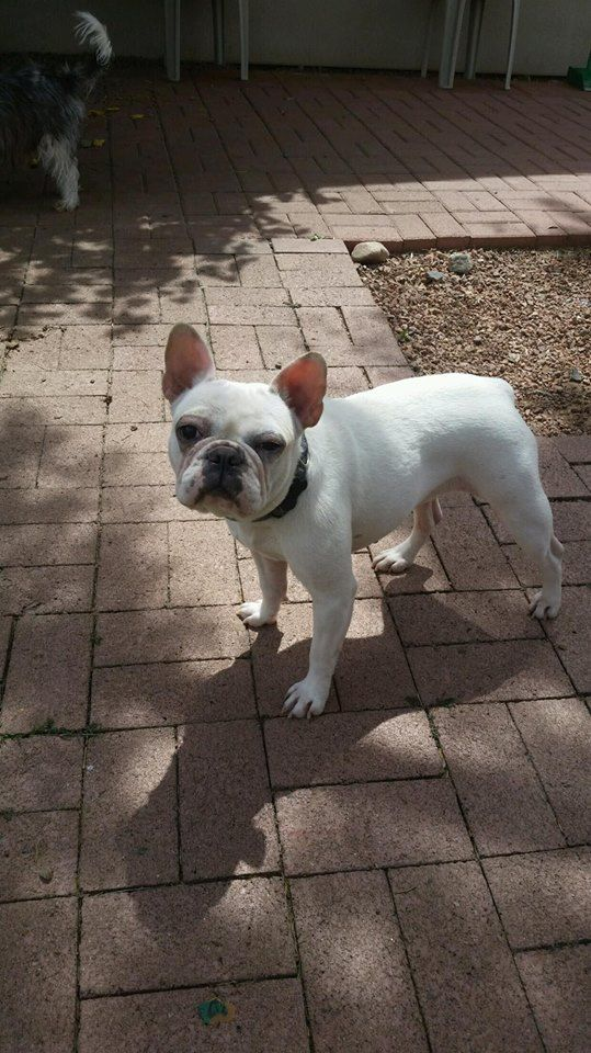 French Bulldog dog for Adoption in Phoenix , AZ. ADN-532945 on PuppyFinder.com Gender: Female. Age: Young