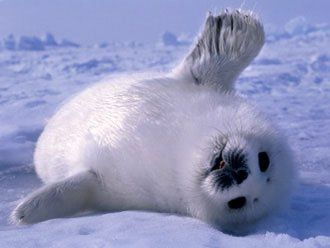 Baby Seal: Cuteness, Adorable Animals, Harp Seals, Baby Animals, Cute Babies, Beautiful Creatures, Baby Seals