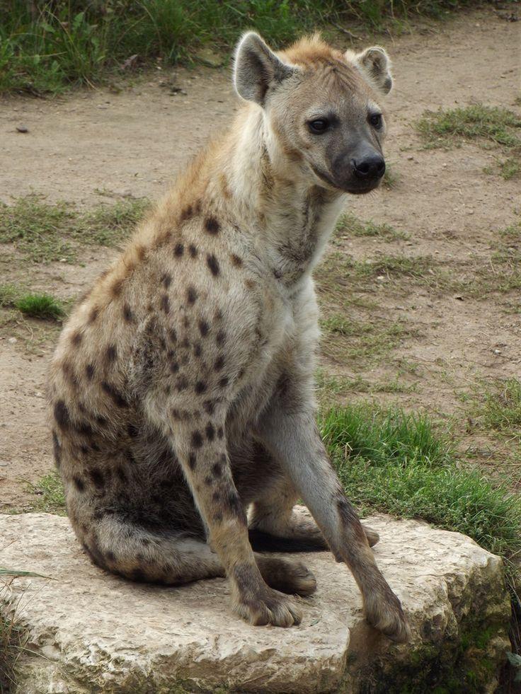 Hyäne wartet geduldig auf´s Abendbrot http://fc-foto.de/32051987