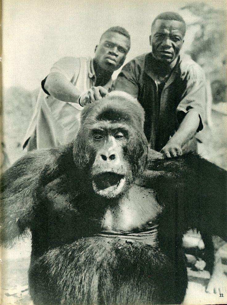 """""""Gorille abattu dans la forêt de l'Angremu"""". Congo Prodigieux, par Félice Bellotti, Arthaud. Editions Arthaud"""