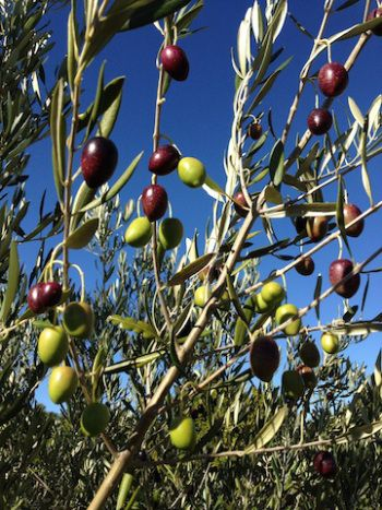 The Culinary Linguist-How to Cure Olives