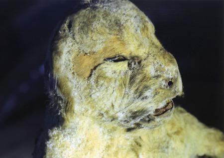 2015年に見つかったホラアナライオンの子どもの死骸(研究チーム提供)