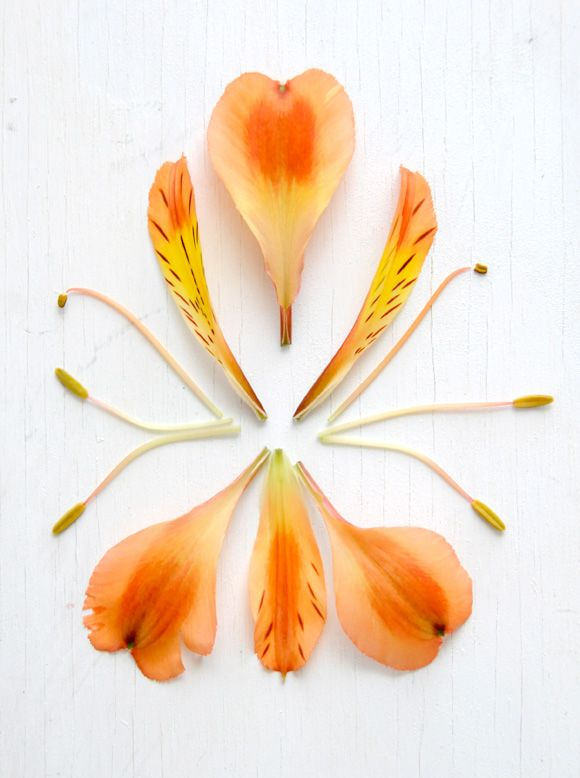 Anatomy of an Alstroemeria | Photo by Ez Pudewa (that's me)!