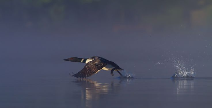 Common loon skip by Jim Cumming on 500px