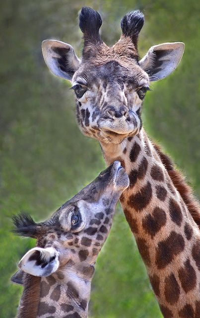 A three-week old giraffe looks up to her half brother Robert at the San Diego Zoo.