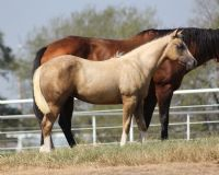 Ah! Pretty Please?! Quarter Horses for Sale, Paint Horses, Reining Horses for sale at Hilldale Farm