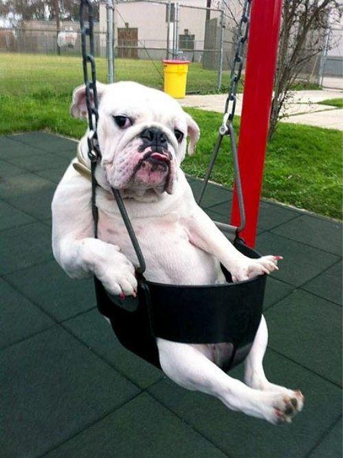 English bulldog on a swing! adorbs!