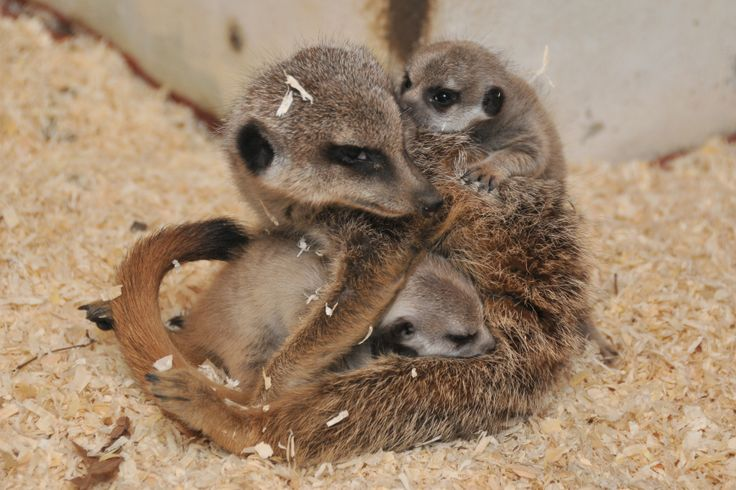 Mummy #Meerkat with her babies.