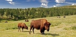 I  f you are looking for something to do during the summer, Custer State Park camping is a great experience for the entire family. You can get...