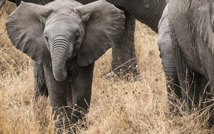 The new president of Zimbabwe,Emmerson Mnangagwa, just announced a BANon the trade of elephants, as well as endangered animals such as rhinos, lions, and pangolins!