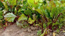 Выращивание свеклы − раскрываем все секреты   Свекла − один из самых популярных корнеплодов, ведь она очень полезная и вкусная. О каких же нюансах в выращивании свеклы нужно знать заядлому огороднику, чтобы получить действительно хороший урожай…