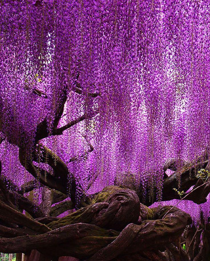 144 Year Old Wisteria In Japan Wisteria Tree Beautiful Tree Wisteria