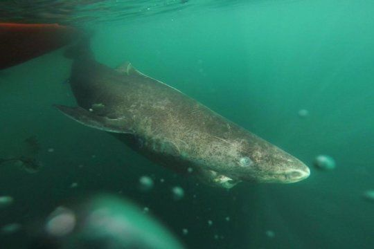 Longest-lived vertebrate is Greenland shark: Lifespan at least 400 years: Greenland sharks live at least as long as 400 years, and they reach sexual maturity at the age of about 150, a new study reports.