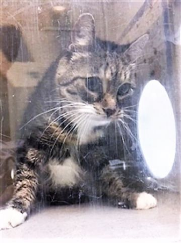 FEDARICA - 18847 - - Brooklyn *** TO BE DESTROYED 01/29/18 *** Fedarica is a pretty young kitty who's very uncomfortable in the shelter environment and would benefit from placement with a New Hope partner who can work with her in a calmer, more stable environment prior to placement in a permanent home. Please give this young kitty a new home! - Click for info & Current Status: http://nyccats.urgentpodr.org/fedarica-18847/