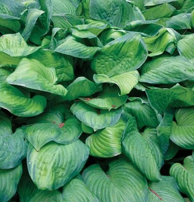 Hosta 'Guacamole' has avocado green, veined foliage with darker green margins. This hosta forms large, dense clumps and thrives in partial shade, where the sun can brighten the leaf centers. In late summer, 3-foot-tall flower stalks emerge, bearing fragrant, lilylike white blooms.