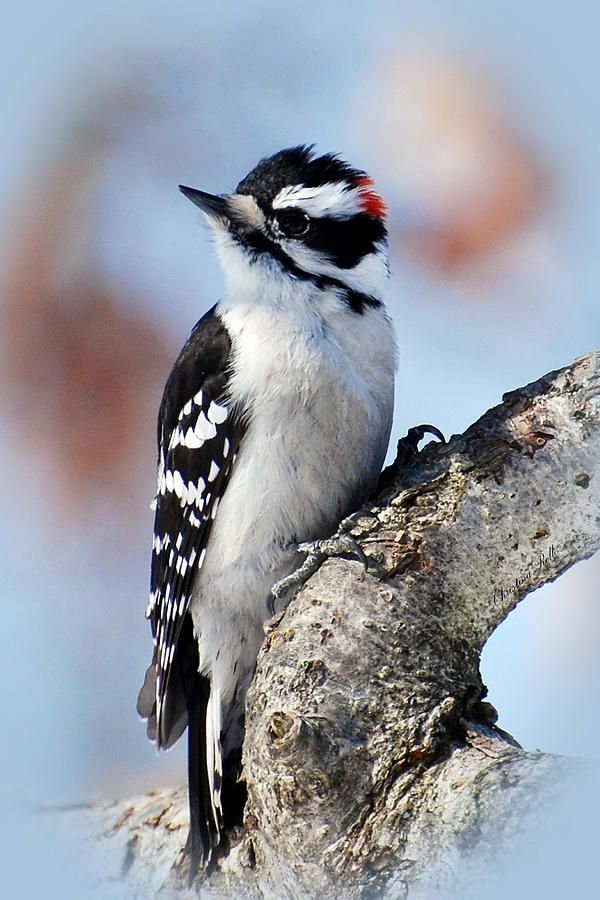 Woodpecker ~ Tree Huggin' Nut LoverChristina Rollo*