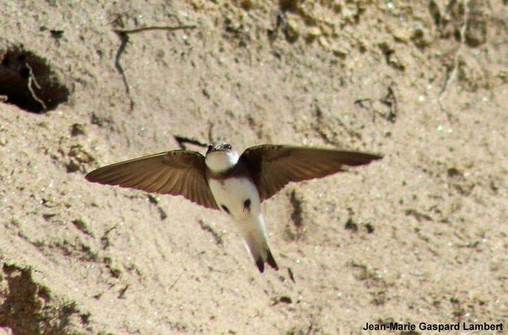 Photographie de Jean-Marie Gaspard-Lambert : Hirondelle de rivage (Riparia riparia). Une colonie s'est installée durant les travaux de création du Parc Paysager des Rives de l'Aa (Nord). #ornithologie   #oiseau   #nature