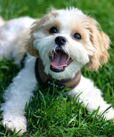 "via the Daily Puppy   what a happy dog!  Puppy Breed: Bichon Frise / Cavalier King Charles Spaniel  My name is Duke (or ""The Duke"" as Dad likes to call me). I'm half Cavalier King Charles Spaniel and half Bichon Frise (Cavachon)."