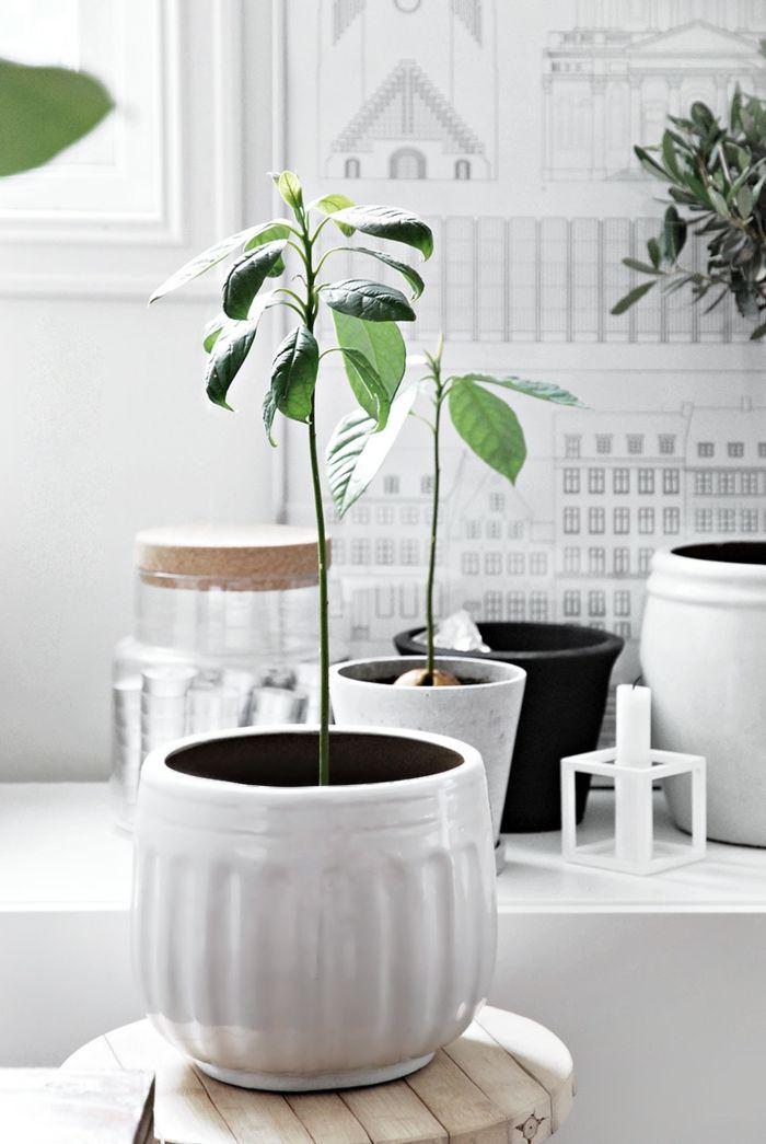conseils comment cultiver un fruit exotique la maison plantes pinterest avocat arbre. Black Bedroom Furniture Sets. Home Design Ideas