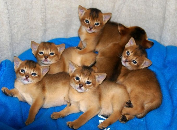 Sextuplets! Abyssinian Kittens
