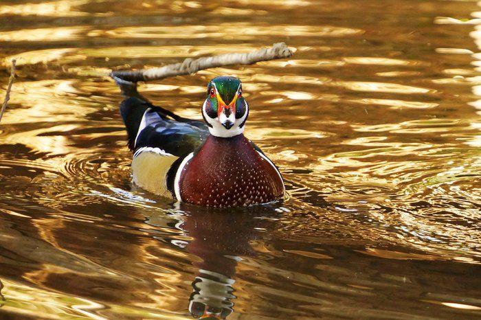 Looking Straight at the Lens by Tony Moreno on Capture Kern County // I planted myself and waited patiently for some time until this beautiful Wood Duck felt comfortable enough to leave the cover of the grass and enjoy the morning waters