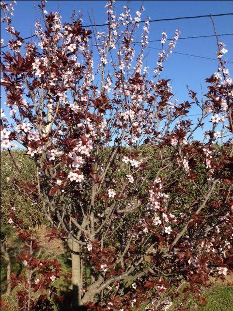Prunus, pisardi, prunera... les seves flors mostren l'arribada del bon temps.