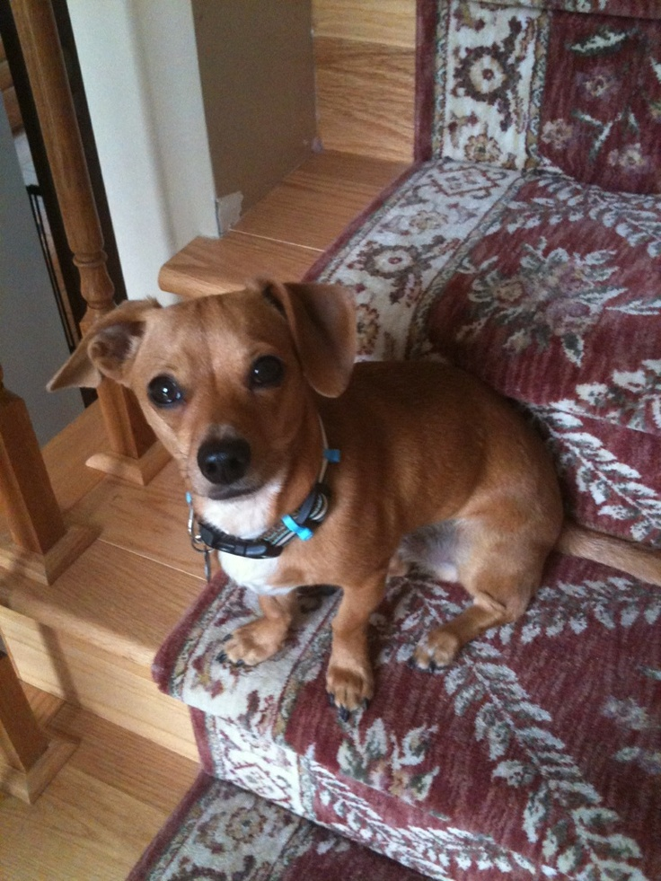186 Best Chiweenies Dachshund Chihuahua Images On