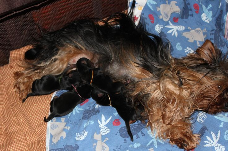 17 Best images about Yorkies with Full Tails - Undocked ...