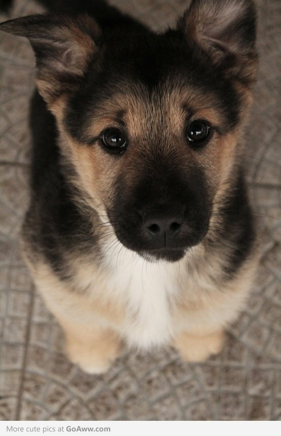 Duitse Herder puppy