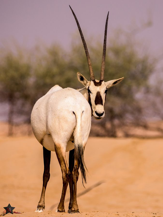 arabian oryx The arabian oryx (oryx leucoryx) or white oryx is a medium-sized antelope with a distinct shoulder bump, long, straight horns, and a tufted tail.