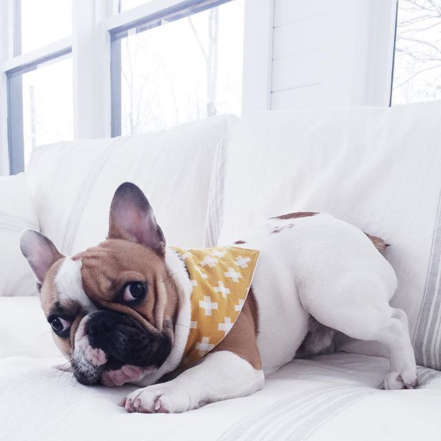 @herman_thefrenchie Time to wake up and go to work guys while I'm staying home to play! ❄️----- C'est le temps de se lever et d'aller travailler guys pendant que moi je reste à la maison à me la couler douce! ❄️ #hermanthefrenchie #frenchie #frenchbulldog #stayhome