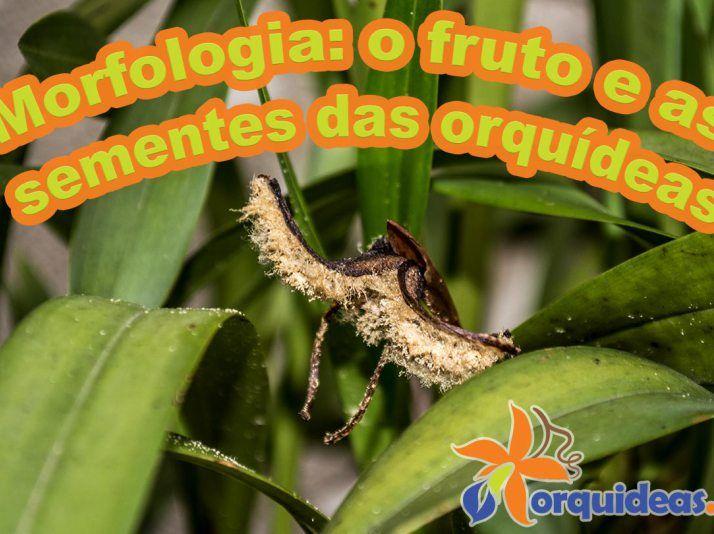 Morfologia: o fruto e as sementes das orquídeas