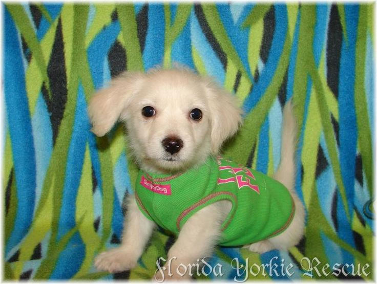 Meet Klondike, a Petfinder adoptable Maltese Dog | Palm City, FL | If you are interested in adopting one of our dogs, please go to our website at...