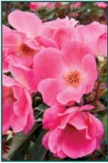 Rosa 'Pink Knockout'® ('Radcon') PP15070