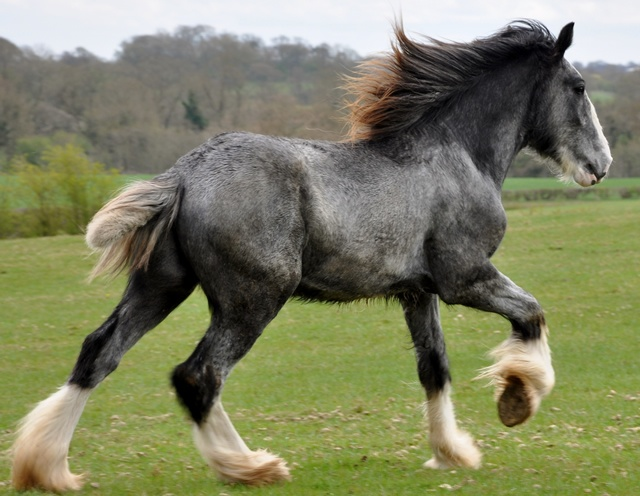 Shire Horse Society Approved Young Stallion