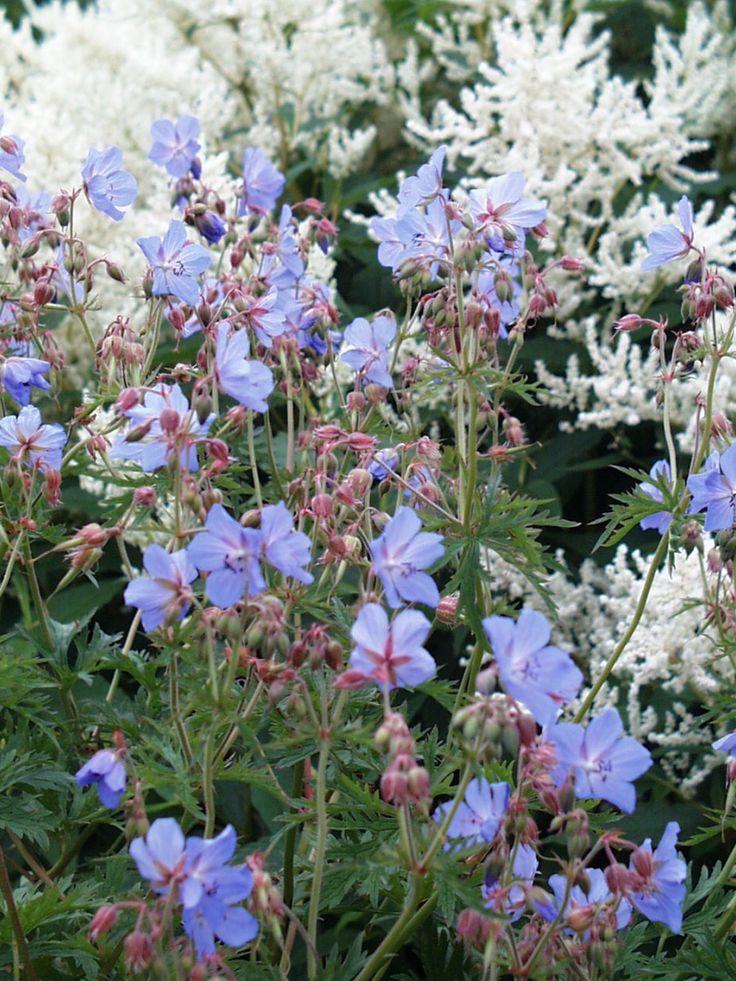 Wiesen Storchschnabel - Geranium pratense