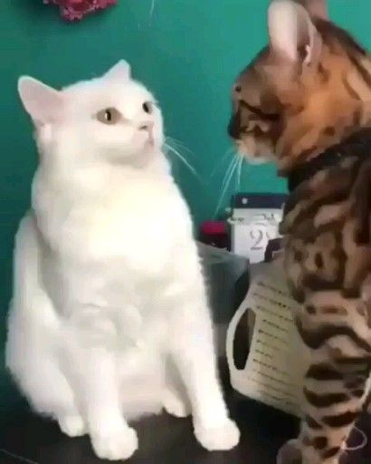 Funny fighter cat