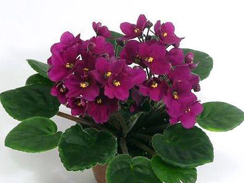 Optimara Scarlet   African Violets   Pinterest   Scarlet ...