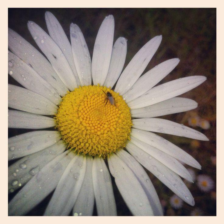 #daisy edit  #raindroplets #nature